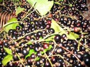 Blackcurrant Schnapps