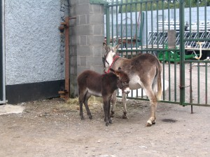 Mother donkey and foal standing at gate looking very forlorn