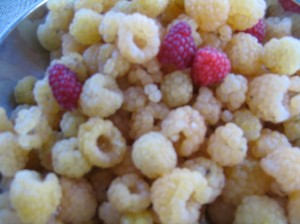 Golden Raspberies with a few red raspberries