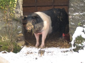 Perky - black and white pig - looking out at snow