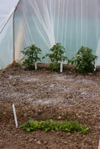 Three lonely tomato plants!