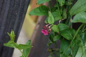 Summer flowering jasmine