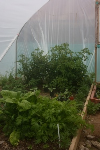 Tomato plants and greens