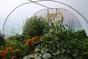 corn, pumpkin, squash, courgette and marigolds