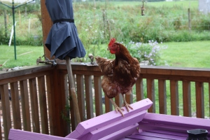 Brown hen perching on purple chair