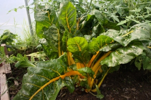 Swiss Chard with yellow stalks