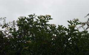 Elderflower in bloom in September!