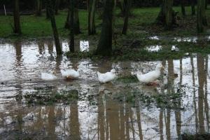 Ducks enjoying flooded lawn