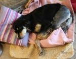 Black dog lying on pink blanket and cushion