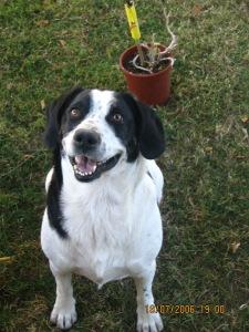 Buddy - black and white dog