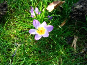 Purple crocus fully open in sunshine