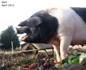 Lucy, the sow enjoying vegetables