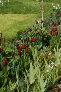 Burgundy Border of Tulips