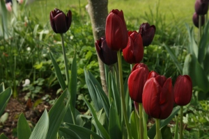 Deep red tulips