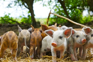 Baby stripey pigs