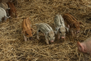 stripy, spotty and hairy baby pigs!