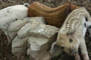 Piglets scratching