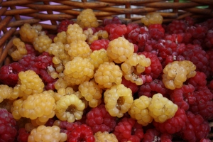 Golden and red raspberries
