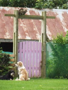 Rua (the cat) sitting on top of gate teasing Harry & Winnie!