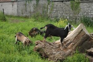 Nubian Goats