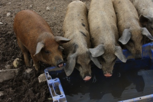 Piglets at water trough
