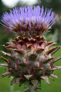 Cardoon in full bloom