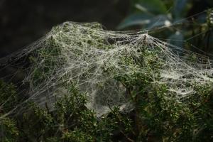 Cobweb on thyme