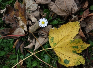 Daisy surrounded by autumn leaves