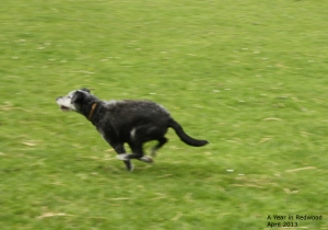 black and white dog chasing ball