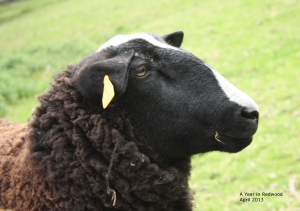 Zwartbles sheep