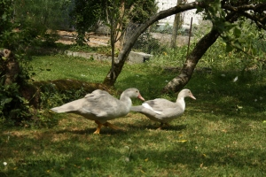 two muscovie ducks