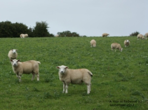 The sheep on Sheepwalk Farm