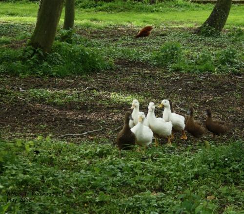Aylesbury & Khaki Campbell ducklings
