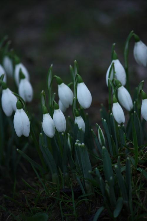 Tis Snowdrop Season