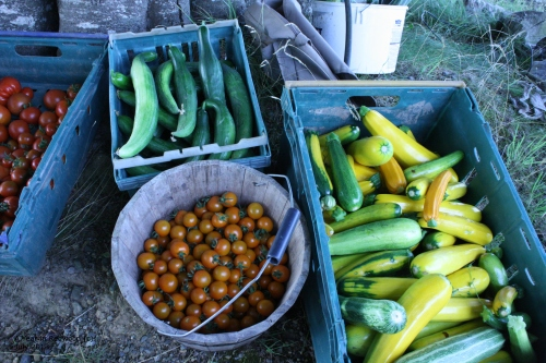 Harvest from the polytunnel