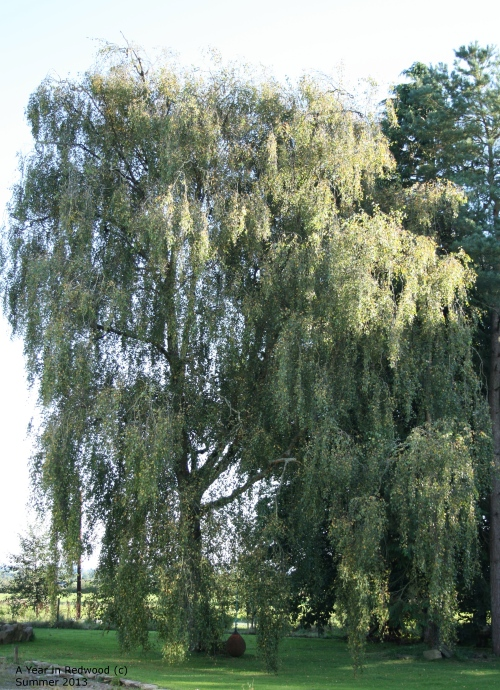 My favourite tree... a lovely cool place to have a swing in hot weather :)