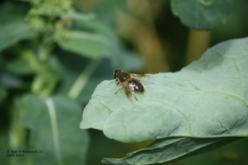 We reckon this busy bee is probably one from our own hive