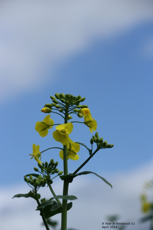 Rapeseed flower head