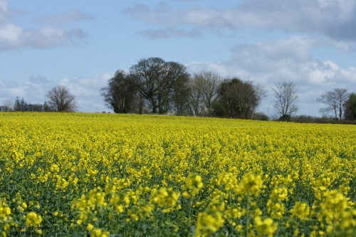 Rapeseed as far as the eye can see :)
