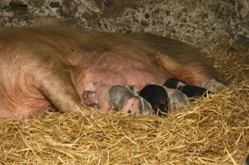Piglets (Bonhams)