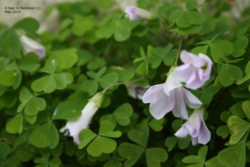 Shamrock in bloom