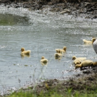 Home-made feed for Ducklings