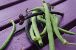 home grown french beans