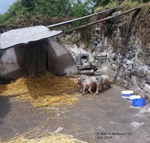 Oldfarm piglets settling into their new home in Galway