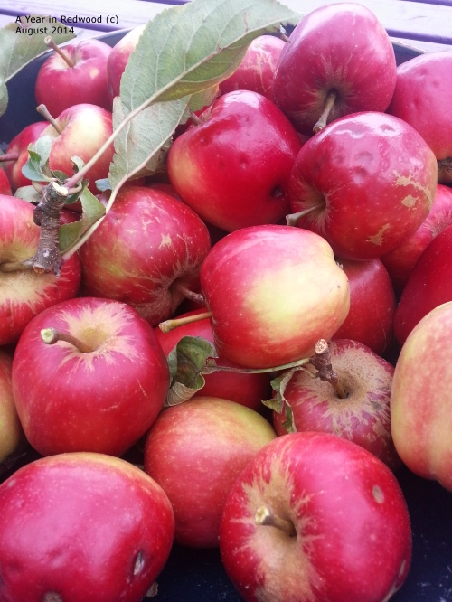 Homegrown Gala Apples