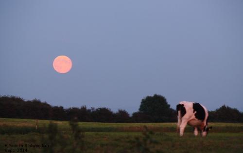 Super Moon & Pink Cow :)