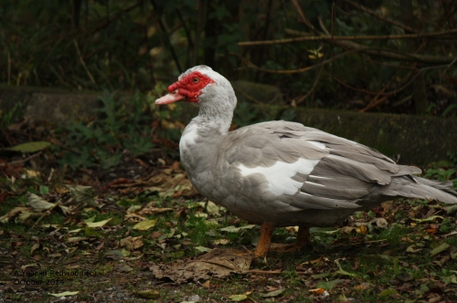 Mossie - the Muscovy Drake