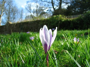 Crocus in sunshine