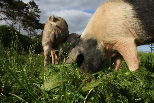 Happy pigs, grazing pigs