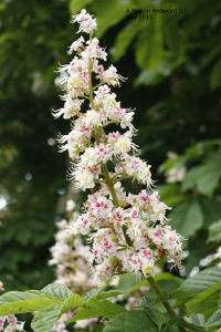 Horse chestnut in flower